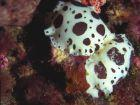 doris dalmatien/vaquita suiza/leoparde/dotted sea slug/nacktsnnecke/gevlekte naaktslak