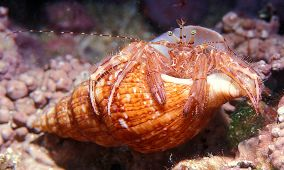 ermitaño/gonfaron/crab/anemonen einsiebler/heremietkreeft